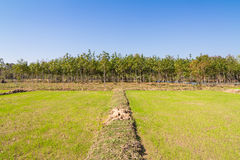 Rice sprout growing in the field and rubber tree in background Stock Photos