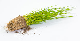 Rice sprout isolated close up Stock Photography
