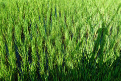 Rice sprout ready to growing Stock Image