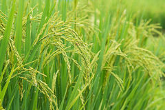 Rice sprout ready to growing in the rice field Stock Photography