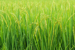 Rice sprout ready to growing in the rice field Stock Photos