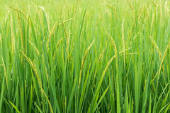 Rice sprout ready to growing in the rice field Royalty Free Stock Images