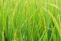 Rice sprout ready to growing in the rice field Royalty Free Stock Photos