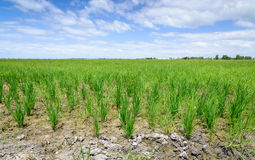 Rice Sprout in Rice field.Rice seedlings green background Stock Photos