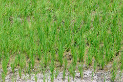 Rice Sprout in Rice field.Rice seedlings green background Royalty Free Stock Image