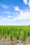 Rice Sprout in Rice field.Rice seedlings green background Royalty Free Stock Photos