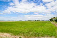 Rice Sprout in Rice field.Rice seedlings green background Royalty Free Stock Photography