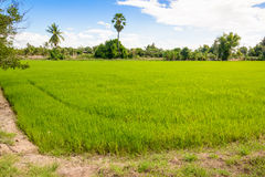 Rice Sprout in Rice field.Rice seedlings green background Stock Images