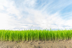Rice Sprout in Rice field.Rice seedlings green with sky Royalty Free Stock Photo