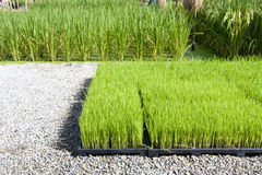 Rice sprout in tray for planting Stock Images