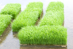 Rice sprouts Stock Images