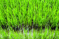 Rice sprouts Royalty Free Stock Photo