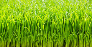 Rice sprouts Stock Image