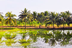 Rice sprouts in the farm. Rice sprouts in the farm with the coconut tree Royalty Free Stock Photography