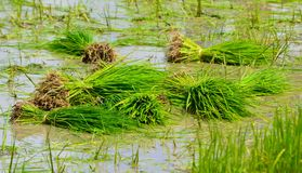 Rice sprouts in farm of thailand Royalty Free Stock Photography