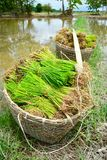 Rice sprouts in farm of thailand. Southeast asia Stock Images