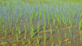 Rice Sprouts in rice field.Rice Sprouts Growing Up In Farm. stock footage