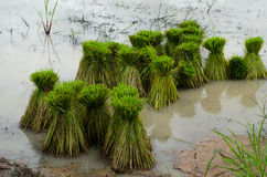 Rice sprouts. For field in Thailand Stock Photography