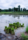 Rice sprouts. For field in Thailand Stock Photo