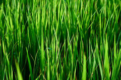 Rice sprouts. And grass in garden and sun rise royalty free stock photo