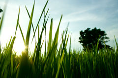 Rice sprouts. Look up to blue clear sky from rice sprouts and grass royalty free stock photo