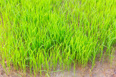 Rice sprouts plant Royalty Free Stock Image