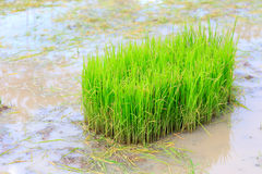 Rice sprouts plant Royalty Free Stock Images