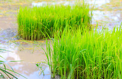 Rice sprouts plant Royalty Free Stock Photos