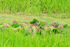 A rice sprouts plant in thailand Stock Photos