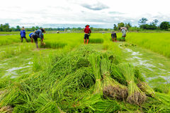 A rice sprouts plant in thailand Royalty Free Stock Photos