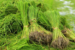 Rice sprouts plant in thailand Stock Images