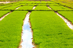 Rice sprouts plant in thailand Royalty Free Stock Photo