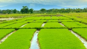 Rice sprouts plant in thailand Royalty Free Stock Photography
