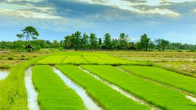 Rice sprouts plant in thailand Stock Photography