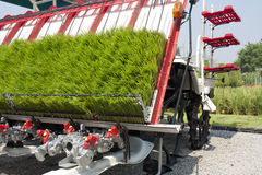 Rice sprouts on planting machine Stock Photo