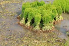 Rice Sprouts in the Rice field Stock Images