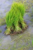 Rice Sprouts in the Rice field Stock Photography