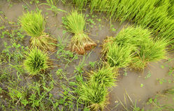 Rice sprouts rice seedlings Stock Photo