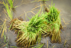 Rice sprouts rice seedlings Royalty Free Stock Photography