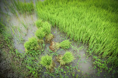 Rice sprouts rice seedlings Stock Image