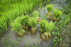 Rice sprouts rice seedlings Royalty Free Stock Images