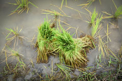Rice sprouts rice seedlings Royalty Free Stock Image