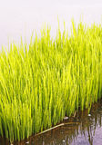 Rice sprouts Royalty Free Stock Photos