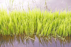 Rice sprouts Royalty Free Stock Images
