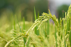 Rice Stalk Stock Images