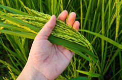 Rice Stalk on Hand Stock Images