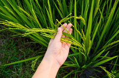 Rice Stalk on Hand Royalty Free Stock Images