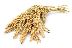 Free Rice Stalks Stock Photos - 34095383