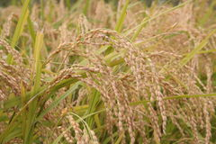 Rice stalks. Rice grows in the patties in South Korea Royalty Free Stock Photo
