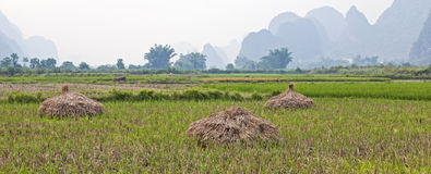 Rice stalks drying in field. Harvested rice stalks dry in a green field in Yangshuo, China with the scenic limestone karsts and bamboo in the distance Royalty Free Stock Images